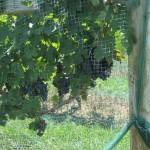 Verona Vineyards 3