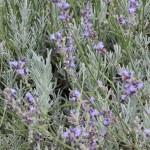 Lavender Hills 2