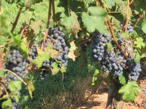 Cabernet Franc soon to be harvested