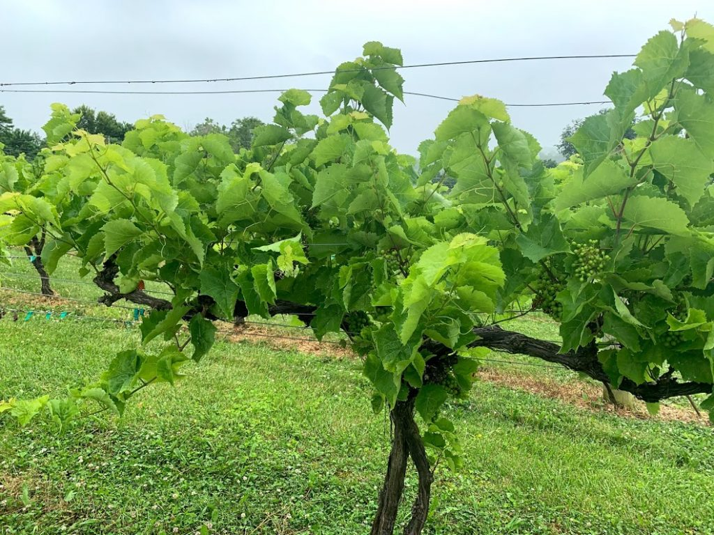 June in the Vineyard